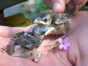Sparrow chicks - 12 days old