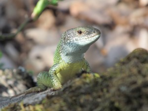 he European green lizard (Lacerta viridis) has WZ sex chromosomes, like some other reptiles, some amphibians and all birds (photo: Liker A.)