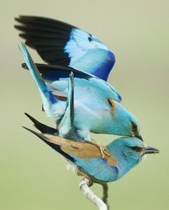 Mating rollers photo: Csaba Daróczi