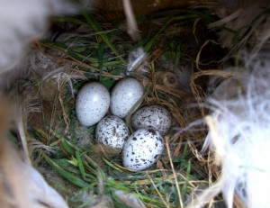 Sparrow eggs Photo: Ivett Pipoly