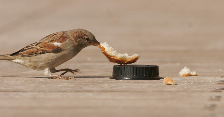 urban sparrow